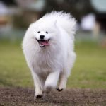 A happy Samoyed dog running towards the camera with all four legs in the air and tongue hanging out.